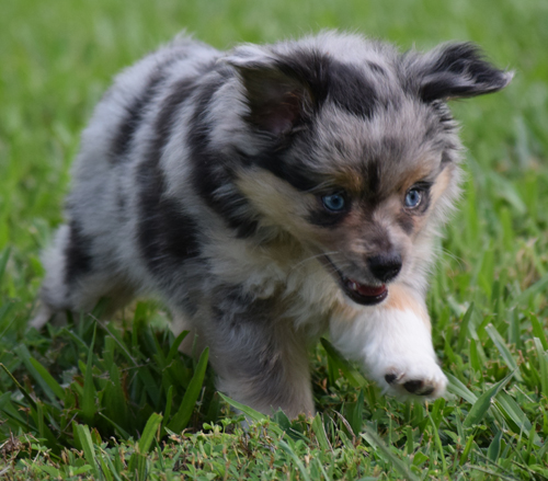 Lil Dawg Shepherds Toy Aussie puppy enjoying a romp in the grass.